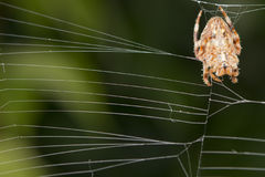 Spider hanging from its web Royalty Free Stock Photos