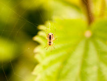 A spider hanging on its web outside waiting to catch some flies and eat them. Spread out fangs and fat body Royalty Free Stock Photography