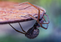 Spider hanging off a table Stock Photo