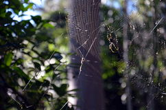 Spider hanging on the spider web Stock Images