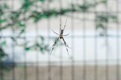 Spider is hanging from tree in the forest, Tokyo, Japan. It was taken in the summer time Stock Photos