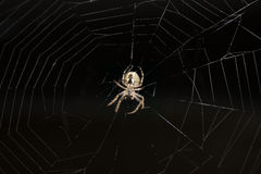 Spider hanging on a web Royalty Free Stock Photos