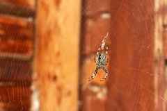 Spider hanging on a web Royalty Free Stock Photography