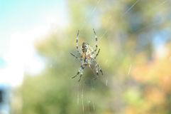 Spider hanging on web. Spider hanging on a web with blurred background Stock Photography