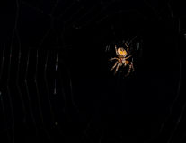 Spider hanging in a web Royalty Free Stock Images
