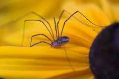 spider harvestman Obrazy Royalty Free