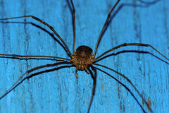 Spider harvestman Royalty Free Stock Photography
