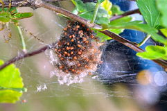 Spider hatchlings. Southern green lynx spiders hatching Stock Photography