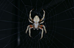 Spider HDR Stock Photography