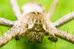 Spider Head. Extreme Macro Photo Of A Nursery Web Spider. Nursery web spiders are spiders of the family Pisauridae. They resemble wolf spiders and carry their stock image