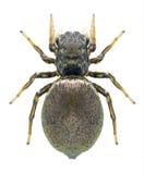 Spider Heliophanus auratus (female) Stock Photography