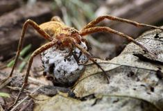 Spider with Her Egg Sac Royalty Free Stock Photography