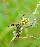 Spider in her spiderweb Royalty Free Stock Image