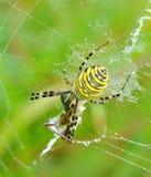 Spider in her spiderweb. Yellow-black spider in her spiderweb - Argiope bruennichi royalty free stock image