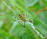 Spider in her spiderweb Stock Photography