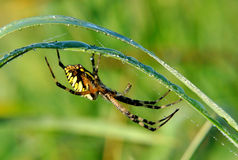 Spider in her spiderweb Stock Images