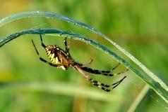 Spider in her spiderweb. Yellow-black spider in her spiderweb - Argiope bruennichi stock images