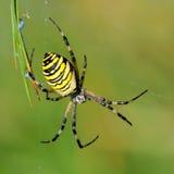 Spider in her spiderweb. Yellow-black spider in her spiderweb - Argiope bruennichi stock photography