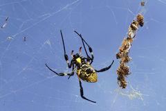 Spider on her wab Royalty Free Stock Images