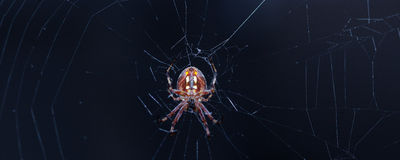 Spider on her web Royalty Free Stock Image