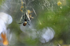The spider. A spider on her web stock image