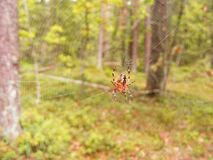 Forest spider on her web waiting for a fly. Spider on her web waiting for a fly royalty free stock photos