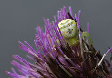 The spider is hiding in the flowers. This green spider is hiding in the purple flowers and shows its body to us Stock Image
