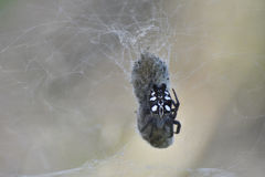 Spider with his catch hanging in the web Stock Images