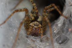 Spider in his house. Extreme close up Royalty Free Stock Image