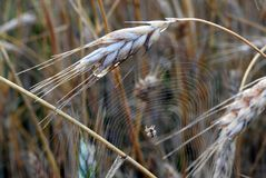 Spider in his net and rye plants, Lithuania Royalty Free Stock Photography