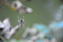 Spider and his nicely woven web. Close-up Stock Photography