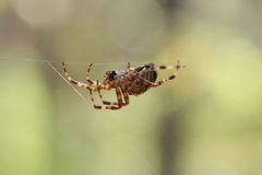 Spider with his threads Royalty Free Stock Images