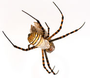 Spider and his victim. Spider striped and his victim on white background Stock Photos