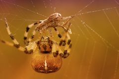 A spider and his victim. Spider-headed spider Araneus quadratus wrapping his victim, a moth in a scroll of spiderweb Stock Photography