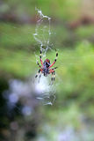 Spider in his web. Spider hanging in his web waiting for a fly to come along Royalty Free Stock Photography