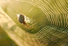 Spider in his web. A spider sitting in his web Stock Photos