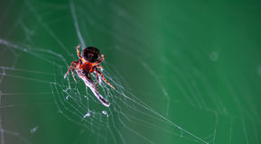Spider in his web eating some insect. Macro shot stock photography