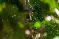 Spider on a his web Royalty Free Stock Image
