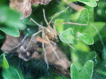 Spider in his web nest. Macro photography of a spider in his web nest, the spider is waiting for his prey. Additional RAW file format available for download royalty free stock images