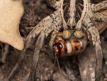 Spider feeding on a house cricket. Spider Hogna radiata fedding on a house cricket stock photography