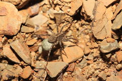 Spider (Hogna radiata) Royalty Free Stock Photos