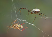 Spider after hopper Royalty Free Stock Photo