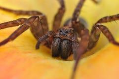 Spider, House spider, Tegenaria Stock Images