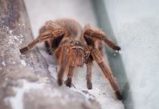 Tarantula Spider  Stock Photography