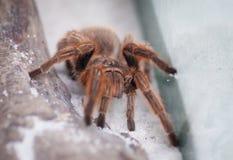 Tarantula Spider  Stock Photography