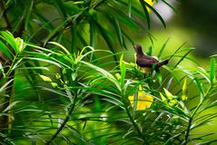 Spider hunter sunbird on the Oleander tree Royalty Free Stock Image