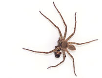 Spider. Hunting on fly. Isolation on a white background Stock Photography