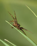 Spider hunting in grass Royalty Free Stock Photo