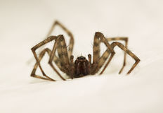 Spider hunting after prey on white cover Royalty Free Stock Images