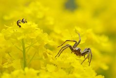 Spider. Hunting in spring flowers stock photo